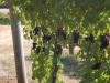 2a-pinotgrapes-hanging2
