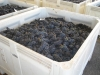 5b-pinotgrapes-in-totes1