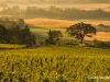 Witness Tree Vineyards, early AM, with old oak witness tree; Eola Hills, Oregon.#D0307195