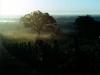 Foggy Witness Tree - (cci00008-wc)